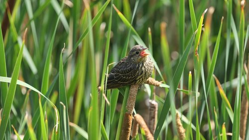 baby blackbird  redwing blackbird  shore