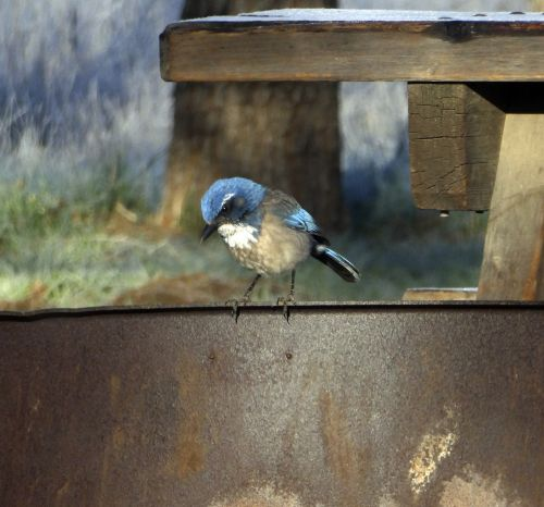 Baby Blue Jay