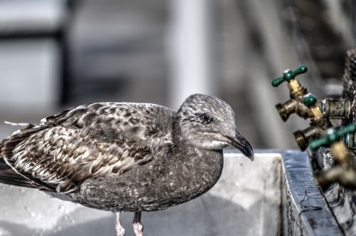 Baby Gull And Water Faucets