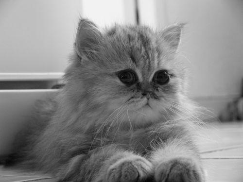 baby cat persian chinchila persian golden