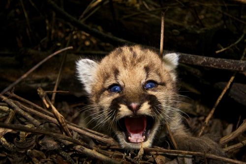 baby cougar mountain lion puma