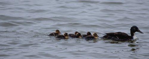 baby ducks  duckings  mallard