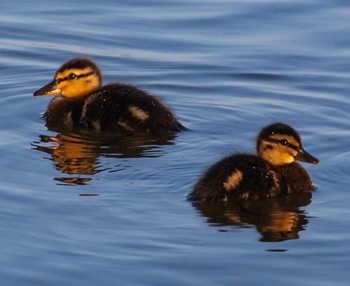 baby ducks  ducklings  baby