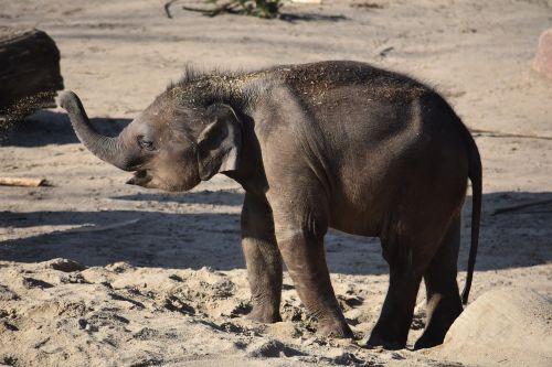 baby elephant young animal elephant
