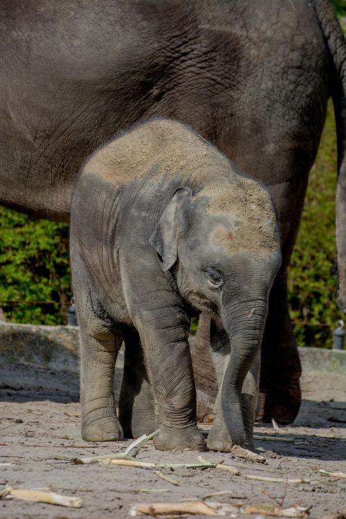 kūdikio dramblys,dramblys,jaunasis dramblys,african bush dramblys,afrika,gyvūnas,proboscis,dramblys šeima