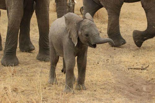 baby elephant elephant tanzania