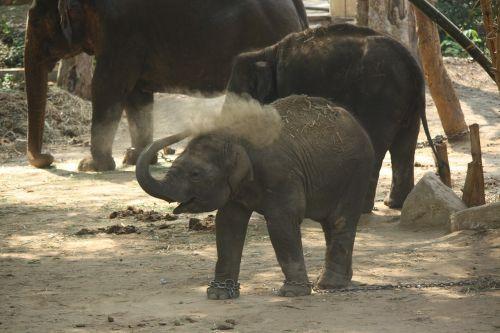 baby elephant kid calf