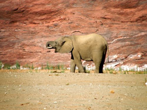 Baby Elephant In Canyon