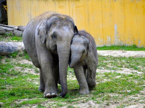 baby elephants  elephant  elephants