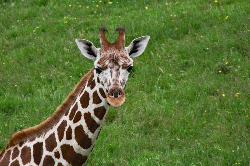 baby giraffe long neck giraffe