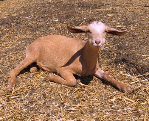 baby goat goat farm