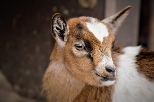 baby goats  goat  small cute