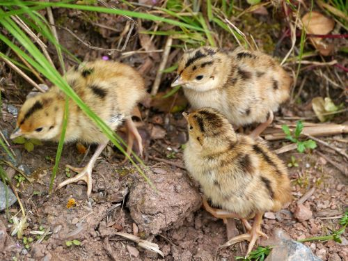 baby grouse nature rarely seen