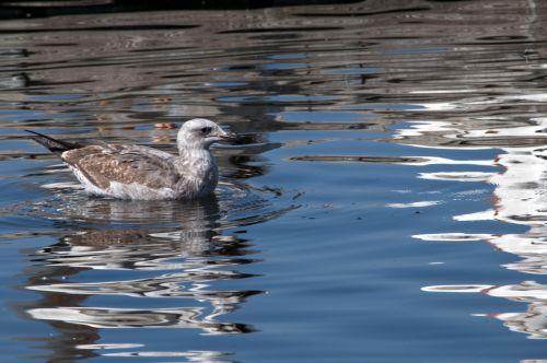 Baby Gull In Lake