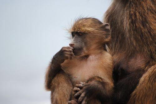 baby monkey monkey cape town