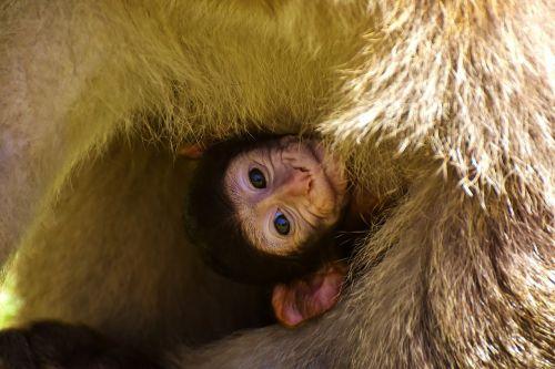 baby monkey barbary ape endangered species