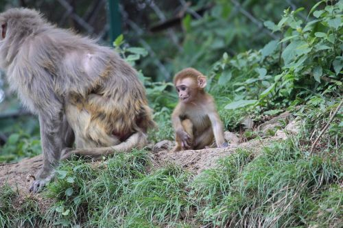 baby monkey angry mother simian