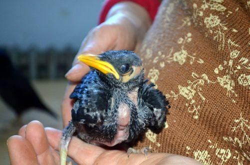 Baby Mynah Bird