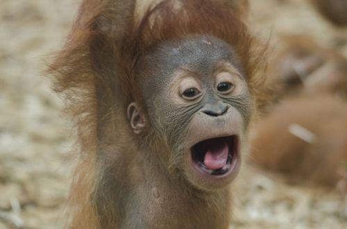 baby orangutan ape primate