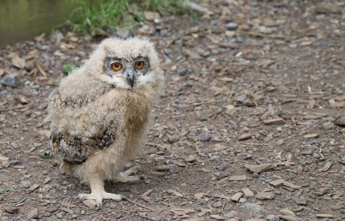 baby owl eagle owl bird