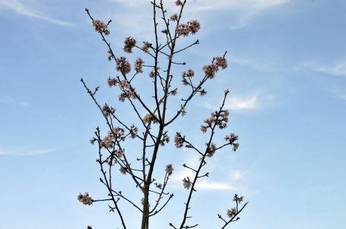 Baby Pear Blossom Tree