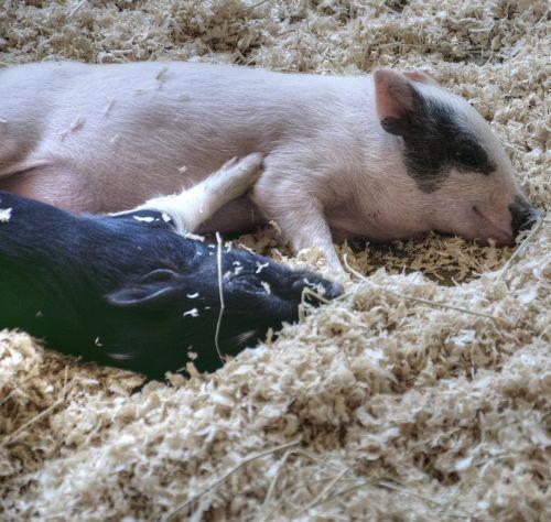 kiaulė, paršeliai, kiaulės, kūdikis, gyvūnas, miega, ūkis, ūkininkavimas, kūdikių kiaulės