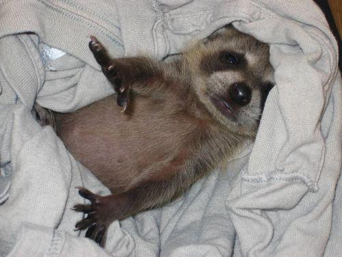 baby raccoon kit raccoon