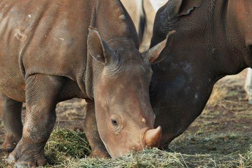 Baby Rhinoceros & Mother