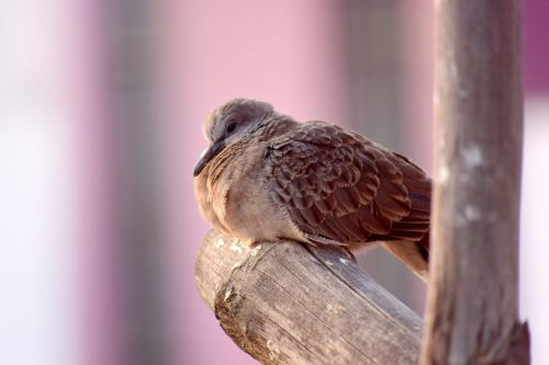 Baby Spotted Dove
