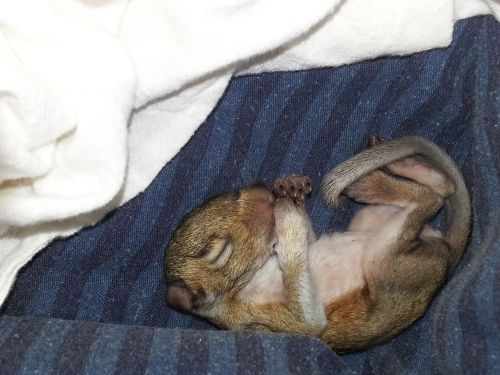 baby squirrel newborn squirrel squirrel