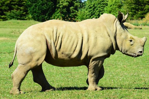 baby white rhino  muddy rhino  rhinoceros