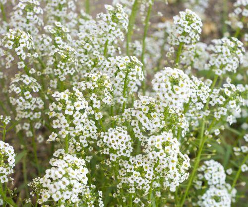 baby's breath flowers white