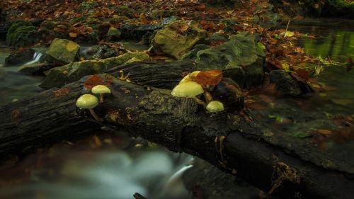 bach leek mushrooms log