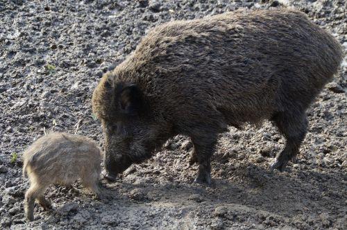 bache wild boar boar