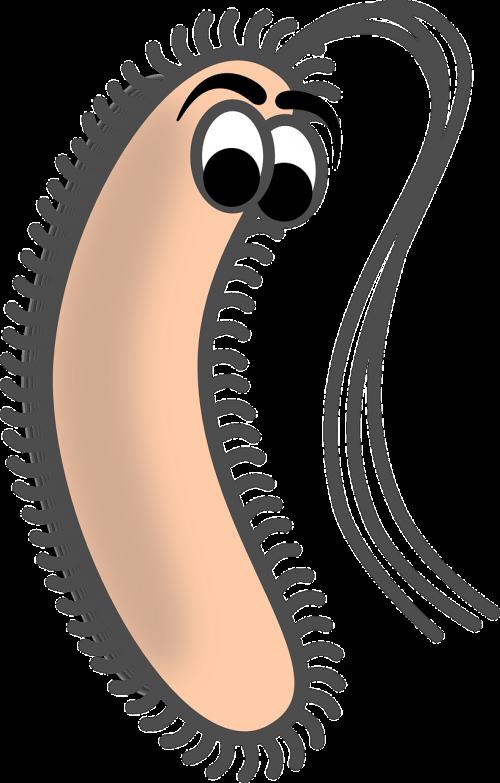 bacillus bacteria rod