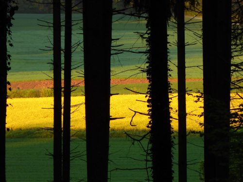back light field of rapeseeds tree trunks
