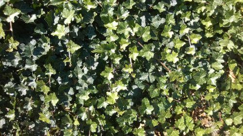 ivy climber plant plant