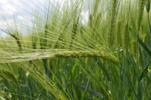 background green wheat