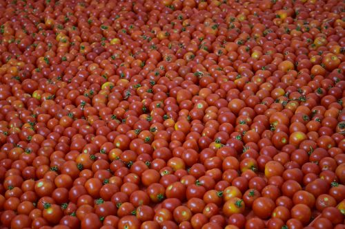 background tomatoes red