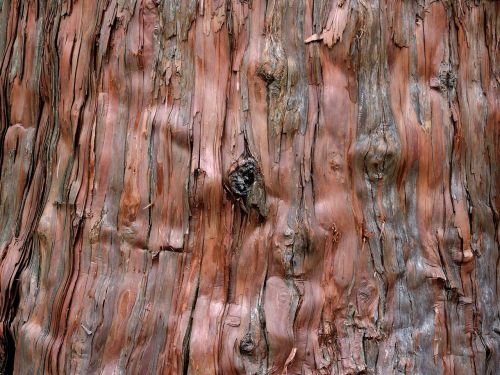 background tree cedar