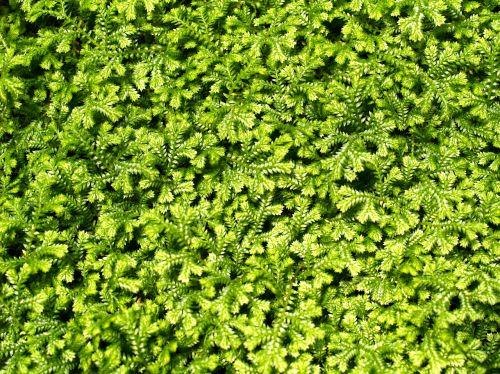 fonas,šviesus,Uždaryti,Iš arti,uždaryti lapelius,Iš arti,Iš arti,detalės,papartis,paparčio lapas,paparčio lapai,paparčio makro,paparčio augalas,flora,lapija,žalumynai,šviežias,šviežumas,sodas,žalias,žalia švieži,žalias lapas,žali lapai