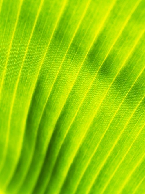 background banana leaves drop