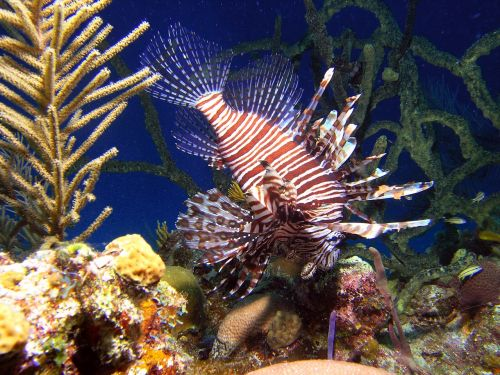 background fish the lion fish