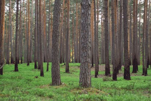 background,grass,green,latvia,pine,trees,free photos,free images,royalty free