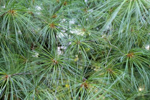 background and textures needle pines pine