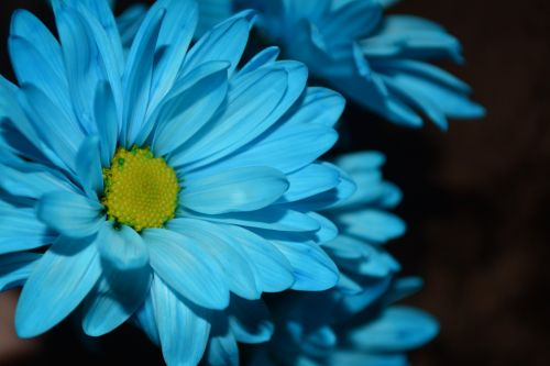 gamta, Daisy, gėlė, fonas, makro, fono gėlės žiedlapių makro