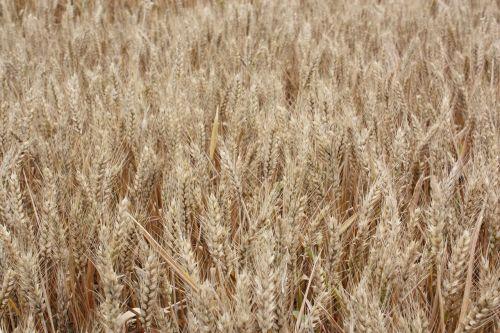 background images wheat barley