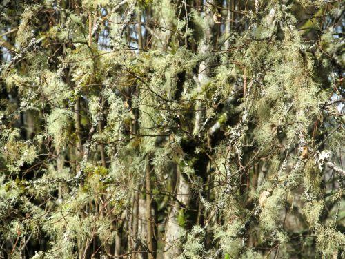 Background Lichen