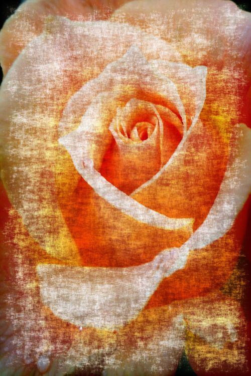fonas, persikas, oranžinė, rožinis, tekstūra, sluoksnis, abstraktus, juoda, rožė, picasso, menas, fonas rožės grunge