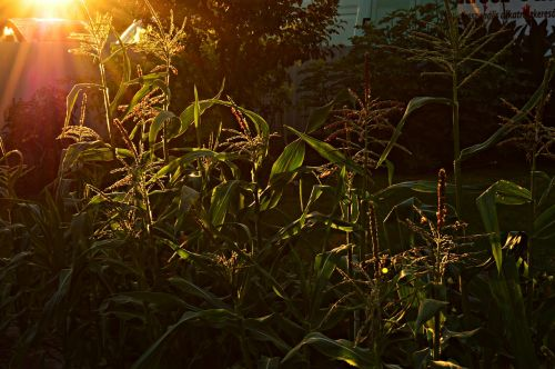 backlight corn plant